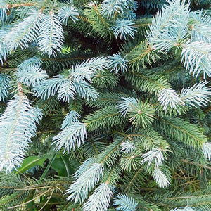 Cutting Your Own Christmas Tree In Colorado River Basin Recreation